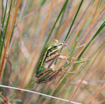 Photograph of Green and Golden Bell Frog